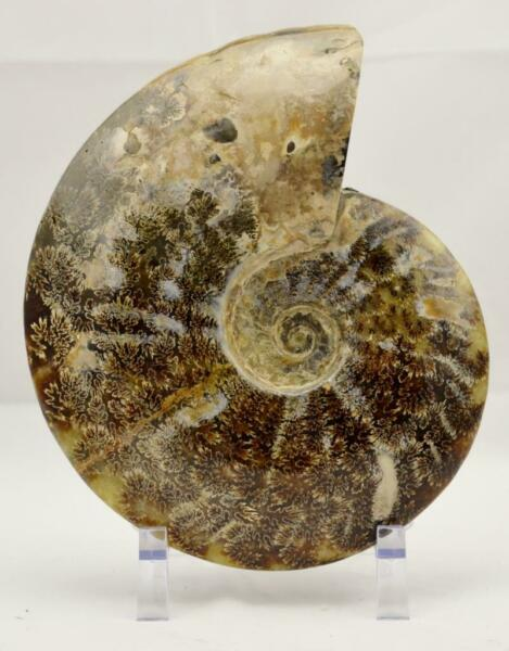 WHOLE Ammonite GREAT SUTURE Pattern XL Dinosaur age Fossil 198mm 7.8