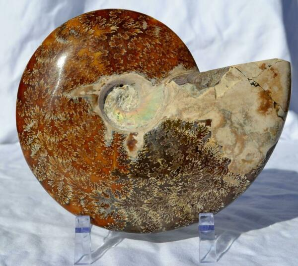WHOLE Ammonite GREAT SUTURE Pattern XXLG Dinosaur age Fossil 190mm 7.5
