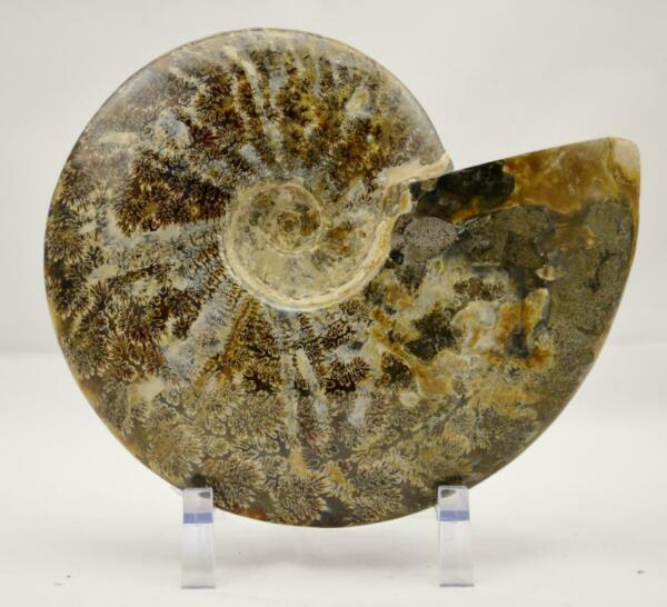 Whole Ammonite Great Suture Pattern XXXL Dinosaur age Fossil 198mm 7.8