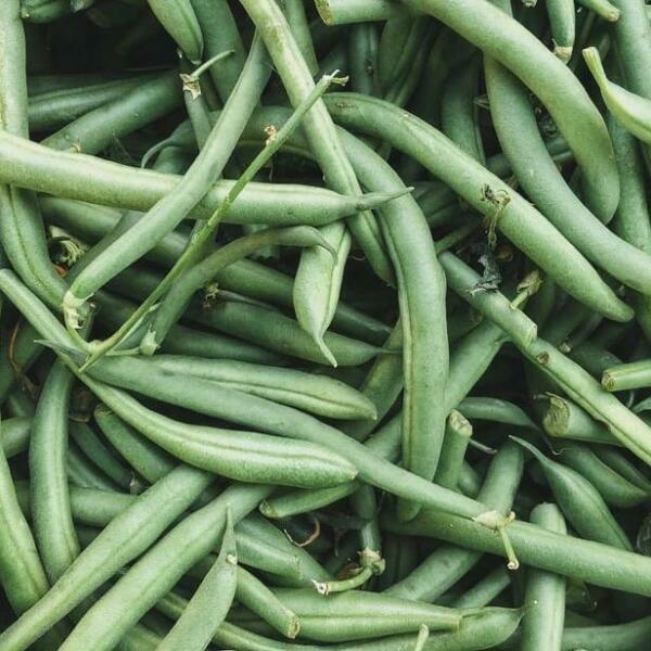 Top Crop Beans Seed bush type snap Green Beans US Seller Ships Fast