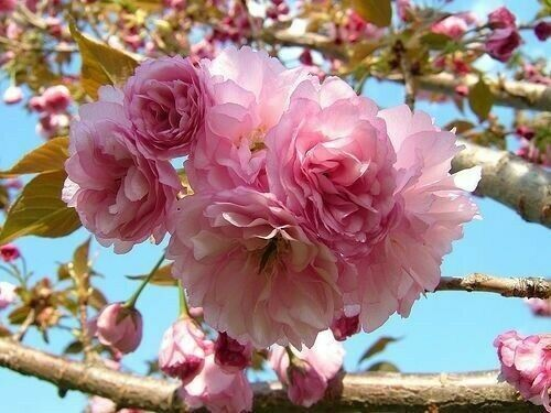 Kwanzan Flowering Cherry Tree 6 12quot; in height and in a 3quot;pot