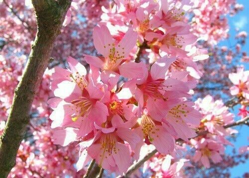 12 18quot; Tall Okame Flowering Cherry Tree in a 3quot; pot
