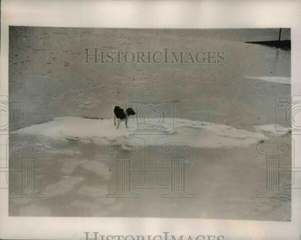 1940 Press Photo Lone Dog Stuck on Ice Float in Southend on Sea Essex England $19.99