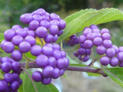 BEAUTY BERRY (Callicarpa) -- 50 seeds. Purple berries, colorful fall leaves!