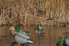 Avery Killer Weed Layout Blind Kit (Cattail Slough)Duck and Goose Decoys