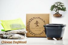 Chinese DogWood Bonsai Seed Kit Gift Complete Kit to Grow GIFT Holiday Decor