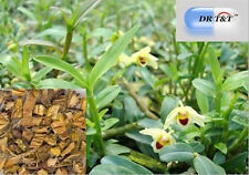 DR T&T 100g dry herbs of  Shi Hu (Herba Dendrobii)