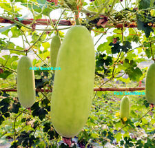 Asian Winter / Wax Gourd - A Rare & Delicious Gourd/Melon from South-east Asia