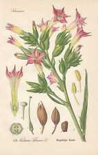 Nicotiana tabacum - Tabak Tabakpflanze THOME Lithographie von 1886 Tobacco plant