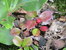 10 Wintergreen Teaberry Seeds -FRUITING SHADE GROUNDCOVER