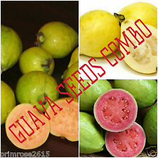 Dwarf Guava Seed Combo- yellow Strawberry Guava,Habshi & mexican Yellow-10+10+10