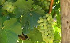 Grape Seeds - DAUPHINE - White Fruit  - NON GMO - MEDICINAL BENEFITS  - 15 Seeds