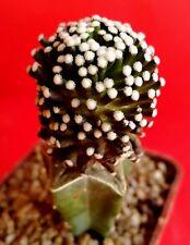 Mammillaria luethyi --- cactus-サボテン-kaktee-선인장 - cacti