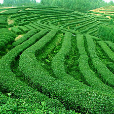 5 pcs Seeds Organic Healthy Garden Fresh Green Tea Plant seeds (2016)