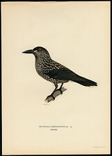 Antique Print-NUCIFRAGA CARYOCATACTES-SPOTTED NUTCRACKER-Von Wright-1917