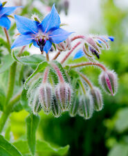 1660mg ORGANIC Borage ~80 Seeds ~ Herbal Edible Blossoms Companion Oil Plant