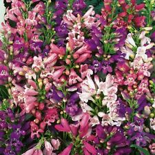 New Pack Kings Seed Penstemon 'Giant Hybrids Mixed' Quality Flower Seeds