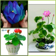 Bonsai Lotus Seeds Combo: Blue Moon || Red Lotus || Sacred Pink || Lowest Price