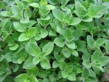 1000 Sweet Marjoram Seeds (Majorana hortensis) Medical And Culinary Herb !