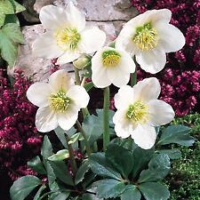 Christmas Rose Flower Seeds (Helleborus Niger) 20+Seeds