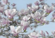 MAGNOLIA Tree Photo Wallpaper Wall Mural FLOWERS NATURE  368X254cm