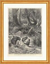 Kiwi, von einem Beutelwolf bedroht F. Specht A. Tiere Vögel Holzstich E 9222