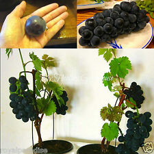 10 Seeds VERY RARE Japanese Dwarf Kyoho (Vitis vinifera) Deep Purple Grape!