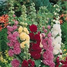 Hollyhock (Alcea Rosea) - Carnival Mix - 50 Seeds