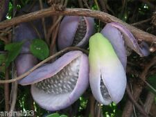 Akebia trifoliata Seeds Chocolate Vine Exotic Fruit 2 seeds S0627
