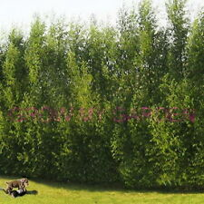 Austree Hybrid Willow 100 STARTS Fast Windbreaks Privacy Start Your Fence