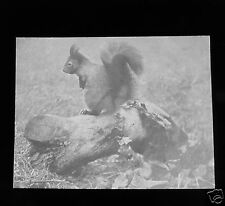 Glass Magic lantern slide A RED SQUIRREL C1900