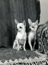 Vintg Photo~Two Cute Chihuahua Puppy Dogs in Chair~NEW Large Note Cards