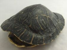 Real Turtle Shell - River Cooter 6 - 7 inch