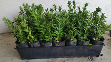 TRAYS OF FORTY TWO  ENGLISH BOX HEDGE PLANTS IN TUBES