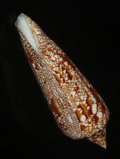 Conus bengalensis 104.5mm GEM CHOICE FLAWLESS BEAUTY