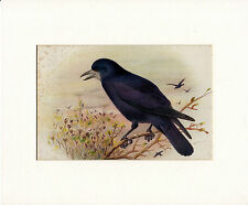 HENRIK GRONVOLD - ROOKS - ANTIQUE CHROMO LITHO  PLATE - MOUNTED (c.1900)