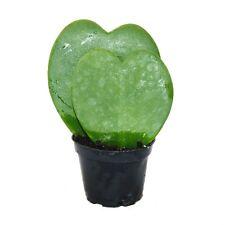 Hoya kerii - Herzblatt-Pflanze, Herzpflanze oder Kleiner Liebling - Doppelherz