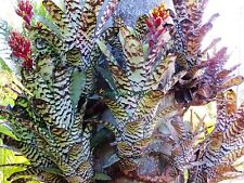 Bromeliad - Aechmea fosteriana  - Beautiful Banding  ~Excellent for Mounting~