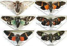 6 Cicada Cicadicae sp. Real Insect Bug Butterfly Taxidermy Unmounted FS gpasy