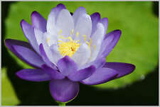 Two-color/blue & white/water lily/bowl-pond lotus/5 fresca seeds/blue Enchantress