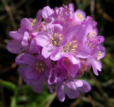 SEEDS 15 graines de GAZON D'ESPAGNE (Armeria Maritima) Sea Thrift SAMEN SEMILLAS