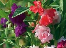 Balsam- Camelia- Impatiens - 25 Seeds - 50 % off sale