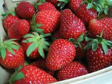 SURE CROP STRAWBERRY 12 PLANTS FOR $8.00 FREE SHIPPING