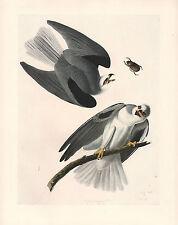 VINTAGE JOHN JAMES AUDUBON BIRD PRINT ~ WHITE TAILED KITE
