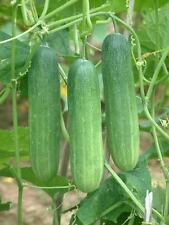 THAI CUCUMBER SEEDS  - 20++ organic Seeds, PEPPER FREE SHIPPING!