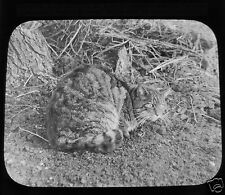 Glass Magic lantern slide A WILD CAT C1900