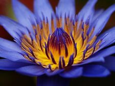 Egyptian Sacred Blue Water lily Nymphaea Caerulea 10 seeds Not lotus CombSH A58