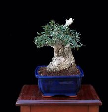 "BONSAI TREE OLD SUMO COLLECTED OLIVE with 6"" Base in GLAZED BLUE POT"