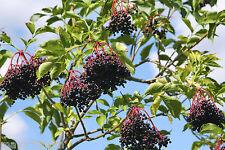 50 Graines de Sureau Noir Jus & Confiture (Sambucus nigra) Black Elder Seeds