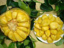 Jackfruit Seeds, 100% Fresh and Clean, Germination 30 Seeds